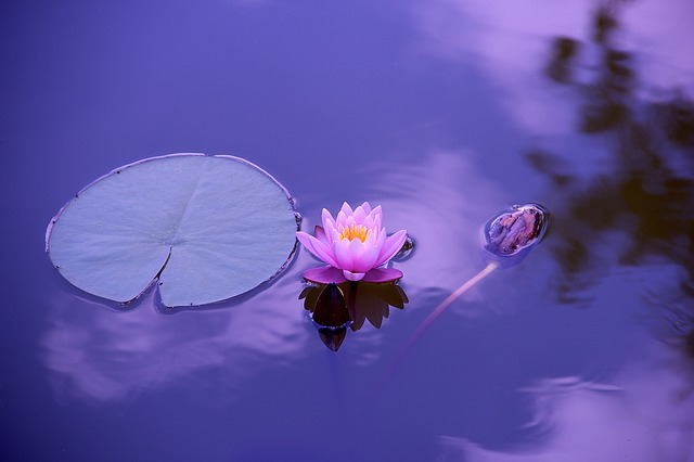lotus representing meditation and mindfulness